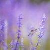 lavendel_colibrie